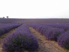 Lavande du Plateau de Valensole en Provence