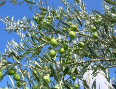 Mas de Trotte-Vache - Olive